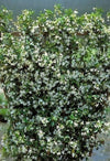 Jasmine 'Star' Plant Jasminum Nitidum- FRAGRANT - 9GreenBox