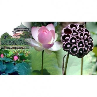 Pink Sacred Water Lily 5 Seeds - Nelumbo nucifera - 9GreenBox