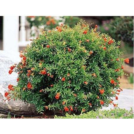 9GreenBox - Dwarf Pomegranate - Gallon Container