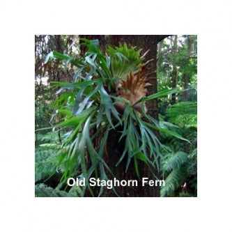 "Staghorn Fern 4"" Hanging Basket - EXOTIC - Platycerium - 9GreenBox"