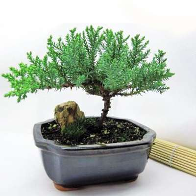 9GreenBox - Bonsai Juniper Tree - 9GreenBox