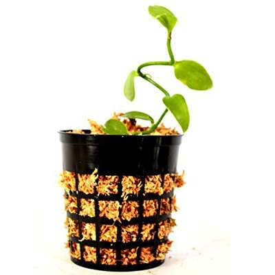 "Vanilla Vine Orchid Plant - Most Popular Spice - 3"" pot - 9GreenBox"