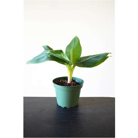 "Super Dwarf Patio Banana Plant - Musa - Great House Plant - 4"" Pot - 9GreenBox"