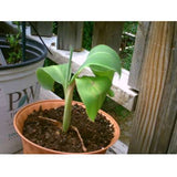 "Super Dwarf Patio Banana Plant - Musa - Great House Plant - 4"" Pot"