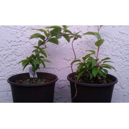 2 Hardy Kiwi Plants - Actinidia - Anna and Meader - 9GreenBox
