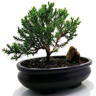 9GreenBox - Juniper Tree Bonsai Best Gift - 9GreenBox