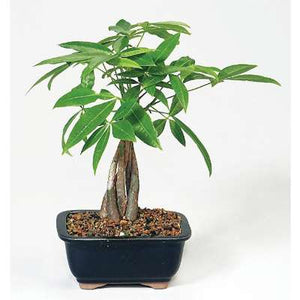 9GreenBox - Money Tree Bonsai
