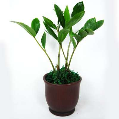 9GreenBox - Wooden Color Ceramic Pot w/ RARE Z Z Houseplant GOLDEN TREE ZAMIO...