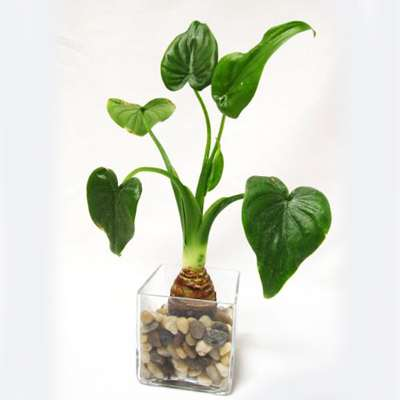 9GreenBox - Dwarf Elephant HEART Ear w/ Glass Vase & Pebble ALOCASIA Buddhas ... - 9GreenBox