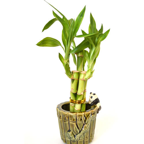 9GreenBox - Live 5 Style Lucky Bamboo Plant Arrangement with Ceramic Panda Vase - 9GreenBox