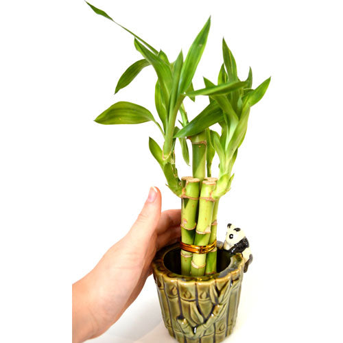 9GreenBox - Live 5 Style Lucky Bamboo Plant Arrangement with Ceramic P