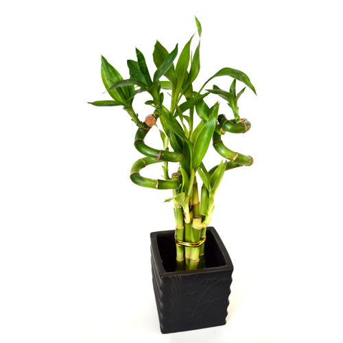 9GreenBox - Lucky Bamboo Spiral Style with Diamond Ceramic Vase - 9GreenBox