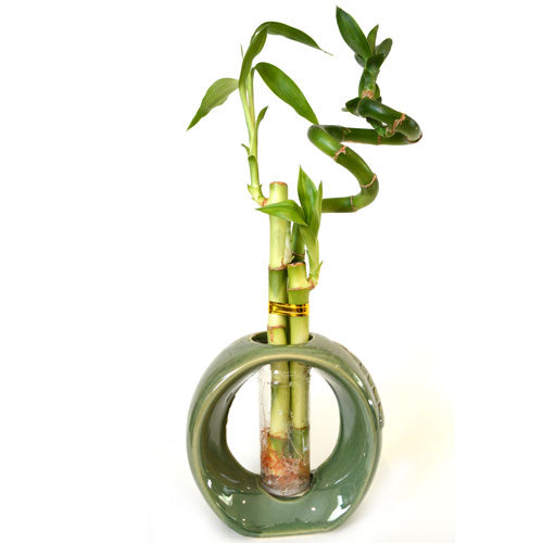 9GreenBox - Lucky Bamboo Spiral Style with Hollow Green Ceramic Vase - 9GreenBox