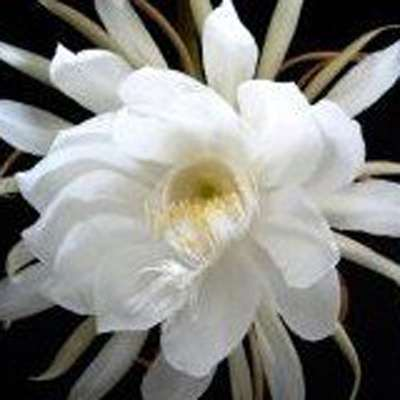 2 Epiphyllum Orchid Cactus Night Blooming Cereus Cutting - 9GreenBox