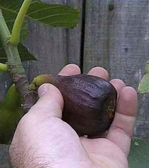 Fig 'Black Mission' Tree Container Plant