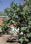 Fig 'Black Mission' Tree Container Plant - 9GreenBox