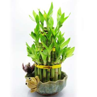 9GreenBox - Lucky Bamboo with Frog and Lotus - 9GreenBox