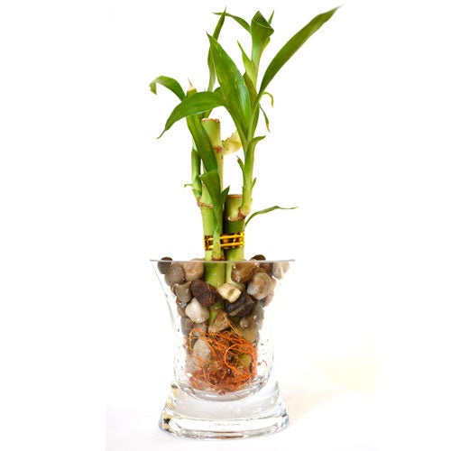 9GreenBox - Live 3 Style Lucky Bamboo Plant Arrangement with OV glass Vase Po... - 9GreenBox