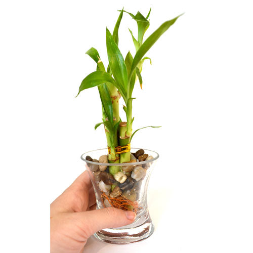 9greenbox Live 3 Style Lucky Bamboo Plant Arrangement With Ov