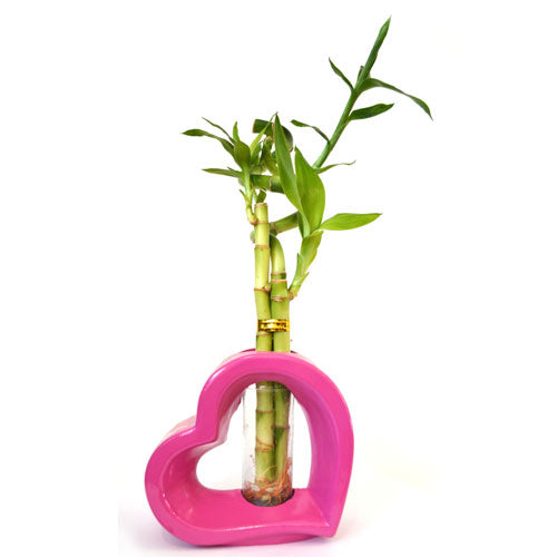 9GreenBox - Lucky Bamboo Spiral Style with Hollow Heart Shaped Pink Vase - 9GreenBox