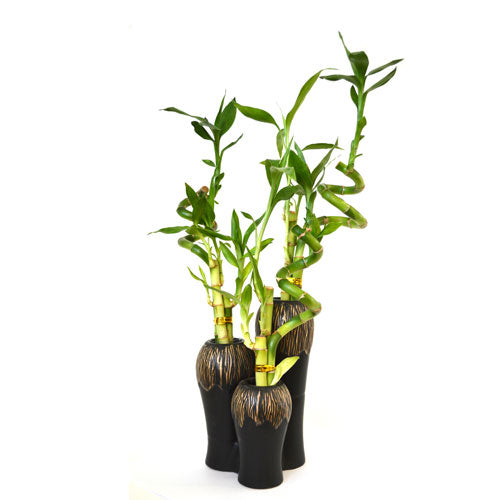 9GreenBox - Lucky Bamboo Spiral Style in Ceramic Vases 3 Set - 9GreenBox