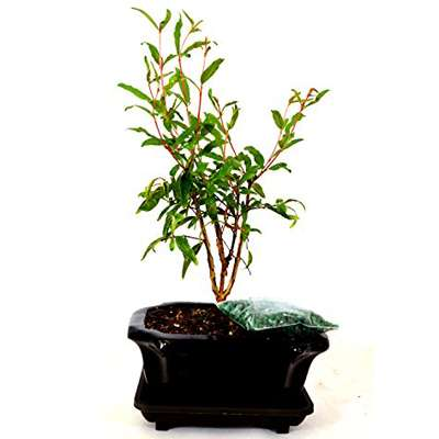 9GreenBox - Dwarf Pomegranate Mame Bonsai Great Fruiting Plant With Ceramic Pot - 9GreenBox