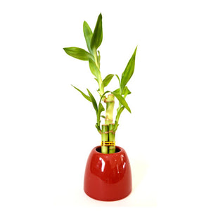 9GreenBox - Lucky Bamboo with Red Ceramic Pot