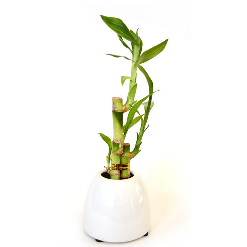 9GreenBox - Lucky Bamboo with White Ceramic Pot - 9GreenBox