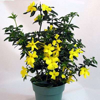 "Golden Primrose Jasmine - Stunning Yellow Blooms - 4"" Pot - 9GreenBox"