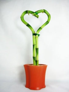 9GreenBox - Lucky Bamboo Heart Style with Ceramic Pot