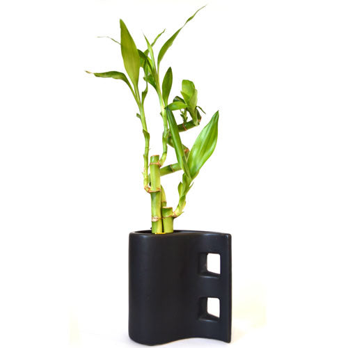 9GreenBox - Lucky Bamboo with Black Tear Drop Ceramic Vase - 9GreenBox