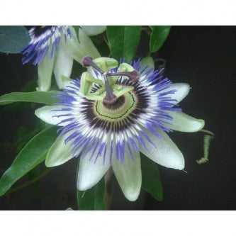 Blue/White Passion Flower - Passiflora - Potted - 9GreenBox