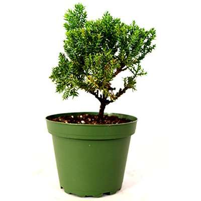 Juniper Procumbens Nana ~Bonsai Starter Plant~ - 9GreenBox