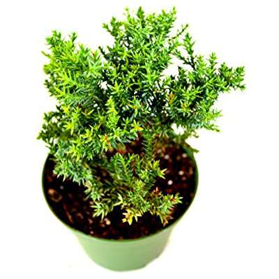 Juniper Procumbens Nana Bonsai Starter Plant 9greenbox