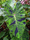 "Mojito Elephants Ear - Colocasia - 4"" Pot - Indoors/Out - 9GreenBox"