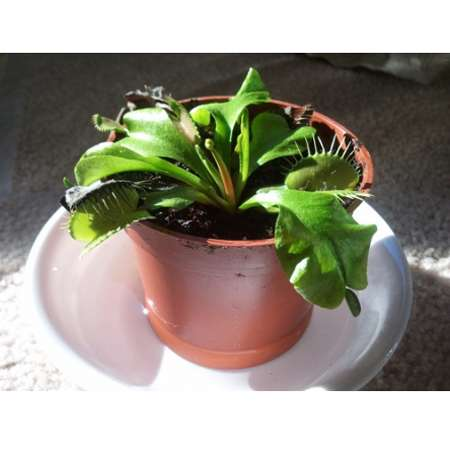 "Venus Fly Trap Plant - CARNIVOROUS - Dionaea - 2"" pot"" - 9GreenBox"