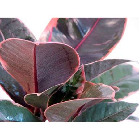 Strawberry & Cream Ruby Rubber Tree Plant - Ficus - 9GreenBox