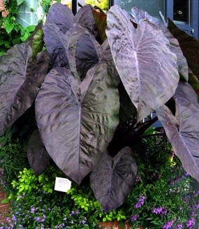 "Diamond Head Elephants Ear - Colocasia - 4"" Pot - 9GreenBox"