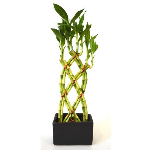 9GreenBox - Live 8 Braided Style Lucky Bamboo Plant Arrangement with Black Vase - 9GreenBox