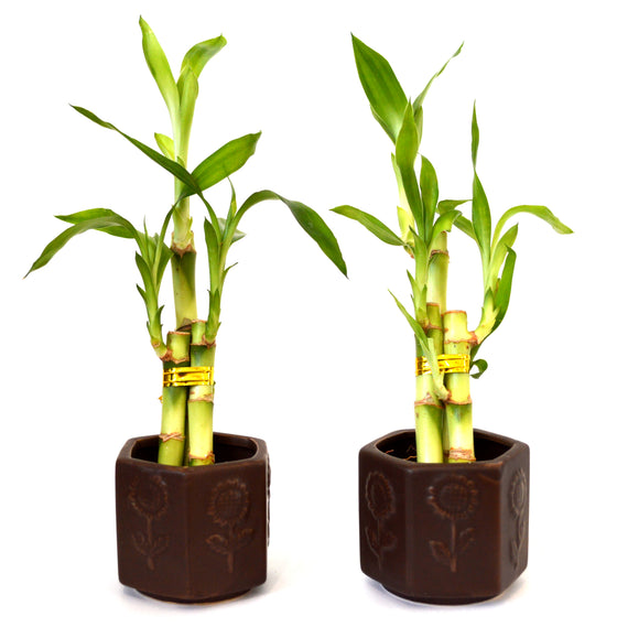 9GreenBox - Live 3 Style Party Set of 2 Bamboo Plant Arrangement w/ Ceramic Vase - 9GreenBox