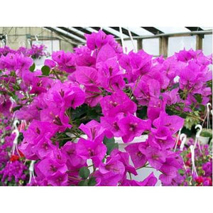 "Royal Purple Bougainvillea Plant - 3"" Pot"