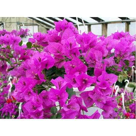 Royal Purple Bougainvillea Plant - 3