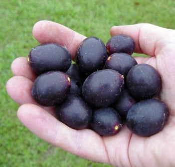 "Southern Home Muscadine Grape Plant - 4"" Pot - 9GreenBox"