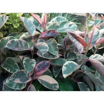"Strawberry Pink with Cream Ruby Rubber Tree - 4"" Pot - 9GreenBox"