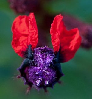 The Bat Faced Flower - 4
