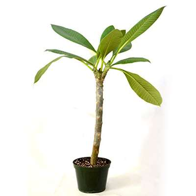 "Live ""Dwarf Singapore Pink"" Plumeria grafted FRAGRANT - 9GreenBox"