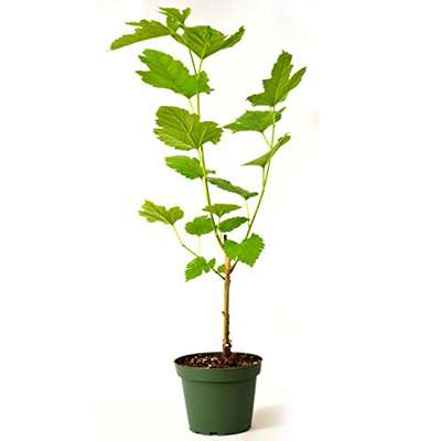 Mulberry dwarf everbearing plant - sweet juicy fruit - 9GreenBox