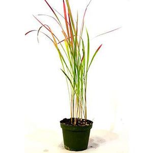 Japanese Blood Grass - I. cylindrica red baron - rare color plant
