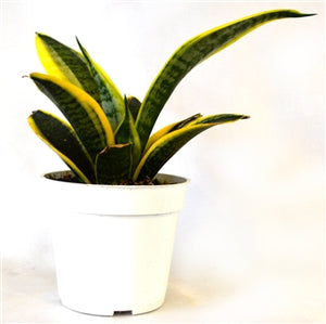 "9GreenBox - Superba Robusta Snake Plant, Sanseveria - 4"" Pot"