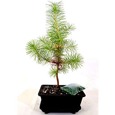 Japanese Black Pine Bonsai with Water Tray and Fertilizer